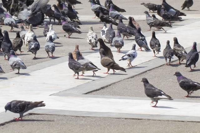 鳩の糞からくる病気その正体は?