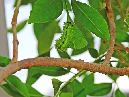柿の木にいるあの毛虫の駆除方法は?